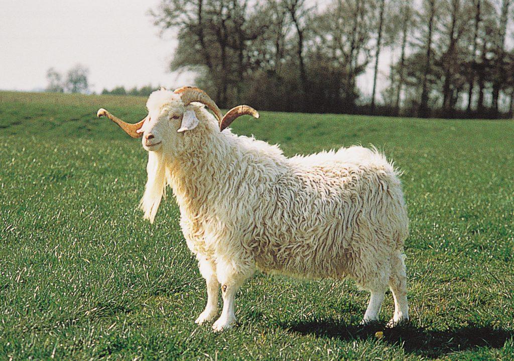 Angora Goat Mohair | Montana Tailors | Food For Thought